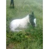 Excelentes Ponys Machos De Diversas Edades Y Palajes