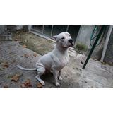 Dogo Argentino Pedigree Para Monta