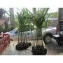 Palmeira Imperial 06 Mudas 60cm Altura