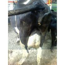 Venta De Ganado Lechero. Vacas Y Becerras.