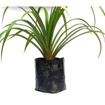 Plantas Ornamentais Palmeiras Pandanus Utilis Frutíferas