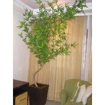 Beta-flores= Muda Bambu Mossó