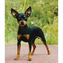 Filhotes De Pinscher Mini Fêmeas Mini Dobermans