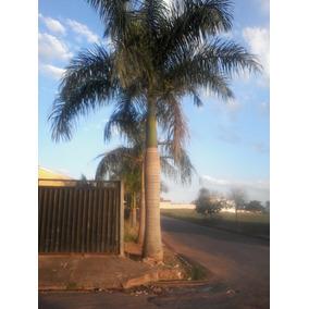 Mudas Coco,palmeira Imperial E Jabulticaba Produzindo