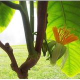 Sementes De Maracujá De Árvore, Muito Raro Plantas Frutífera
