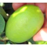 Muda De Limão Galegão Delicioso Em Saladas Temperos E Sucos