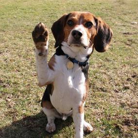 Beagle Curso Adestramento Video Aulas Ebook Frete Gratis
