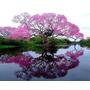 Árbol Ornamental Bonsai Jardin Hogar Handroanthus Impetigino