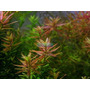 Planta R12 Rotala Sp. Pink