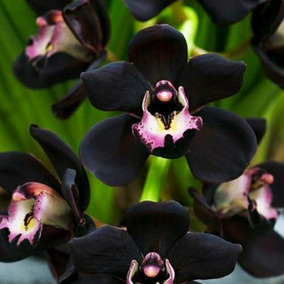 Sementes De Orquídea Cymbidium Kiwi Negra Muito Rara P Mudas
