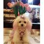 Hermosos Poodle Micro Toy Las Condes
