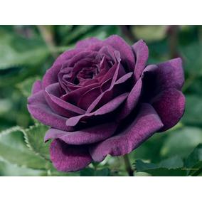 Rosa Lilás (muda)
