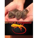 Hermosos Hamster/topo Rusos!!!! (villa Urquiza/saavedra)