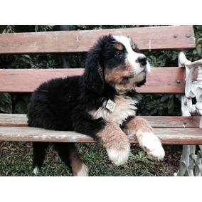 Cachorros Disponibles De Boyero De Berna Con Papeles De Fca