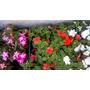 Plantines Alegrias Del Hogar.- Plantas Con Flor. Por Cajon