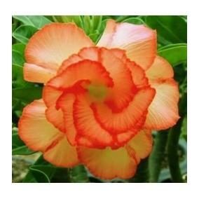 Rosa Do Deserto 30 Sementes 5 De Cada Tons De Cor Adenium