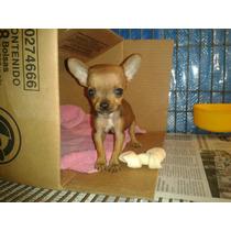 Chihuahua Cabeza Manzana