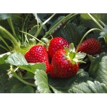 Fresa Comercial ( Planta , Fructificando ) , Strawberry