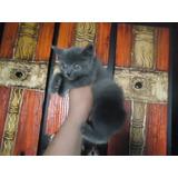 Gato Azul Ruso Padres Ala Vista ..macho Y Hembra.