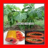 Mamão Anão Para Vasos - Fruta - Frutas Sementes Para Mudas