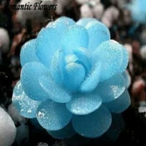 Sementes De Lithops Azul, Pedra Jade, Suculenta -15sementes