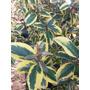Plantas Cerco Vivo Eleagnus Amarillo Vivero Mayorista
