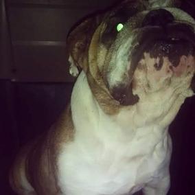 Vendo Perra Bulldog Ingles,tiene Dos Años De Edad.