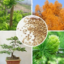 100 Sementes Mix Ornamentais Larix Gmelinii, Bonsai Jardins