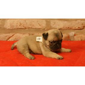 Cachorros Pug Con Papeles De Fca