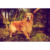 Cachorros Golden Con Papeles De Fca