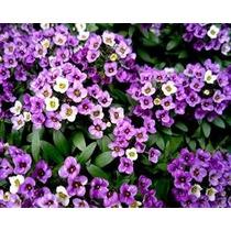 750 Sementes Da Flor De Mel Violeta - Alyssum Perfume