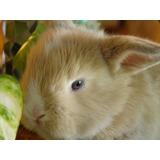 Conejos Enanos Holland Lop De Orejas Caidas.