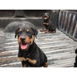 Cachorros Rottweiler 2 Meses Y Medio