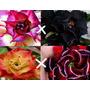 Rosa Do Deserto Kit Cruzamentos 20 Sementes Adenium Obesum