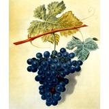 Cacho Uvas Pretas Vinho Fruta Pintor Brookshaw Tela Repro