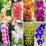 70 Semillas Mix De Orquídeas Cymbidium Africano