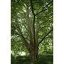 Platano Platanus Acerifolia 10-12cm Circunsf. Vivero Iris