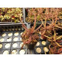 Planta Carnivora Drosera Adelae