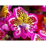 Semillas Flor Alas De Angel Schizanthus Mix De Colores