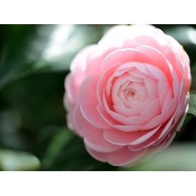 Sementes Camellia Japonica Camelia Flores Gigante Rosa Mudas