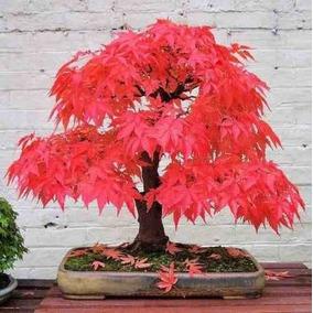 Bonsai Red Maple 10 Sementes Frete Gratis