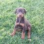 Preciosos Cachorros Doberman Sepia Y Golondrinos