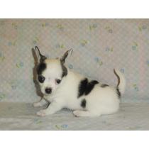 Excelentes Chihuahuas De Bolsillo Con Fca