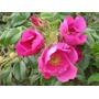 Hermosas Rosas Rugosa Rubra: Muy Perfumada!! Comestible!!