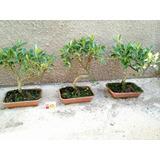 Bonsai De Ficus Microcarpa 6 Anos