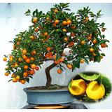 Arboles Arbolitos Naranjos Naranjas Frutal Bonsai Semillas
