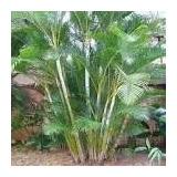 Kit Com 20 Mudas Palmeira Areca Bambum Cada 7 A 15 Cm