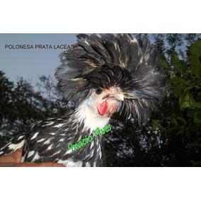 Ovos Galados De Galinha Polonesa