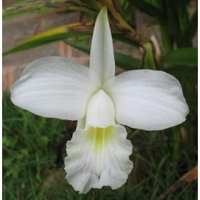 Muda De Orquídea Arundina Bambusifolia Branca - 10 A 20cm