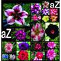 10 Mudas Rosa Deserto Varias Cores Dobradas Cores Exóticas